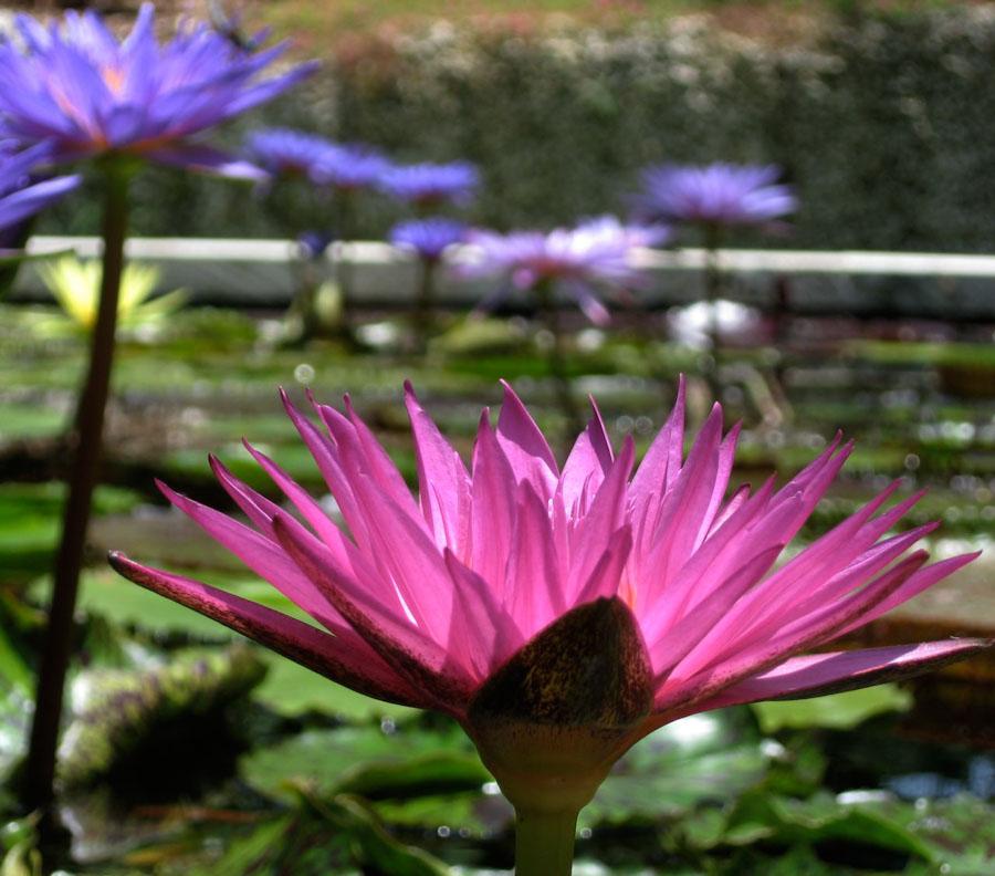 water lotus, Beautiful flower