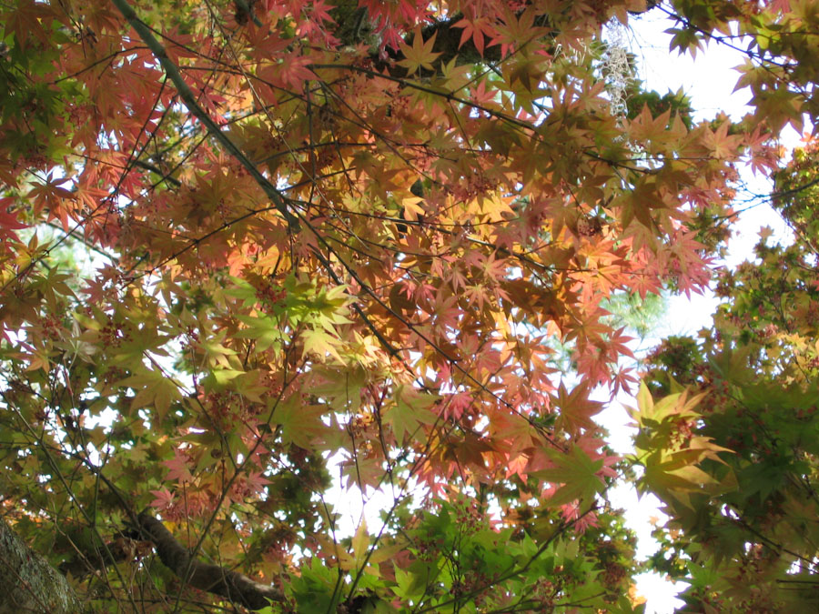 Canopy of a japanese maple tree for Canopy of trees
