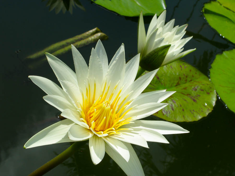 white lotus flower, Beautiful flower
