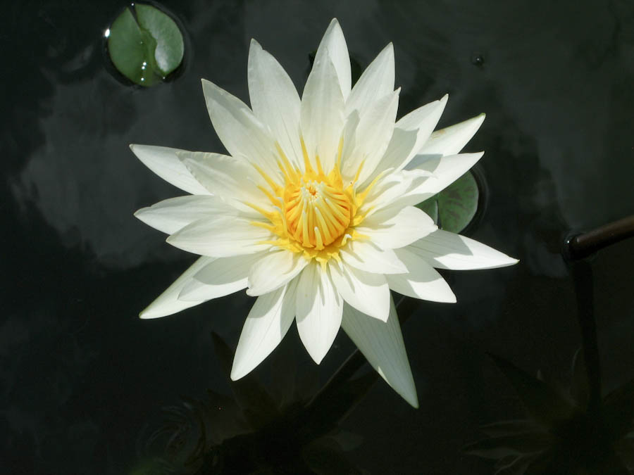 File:Water lilies white flowers nelumbo lutea or american ...