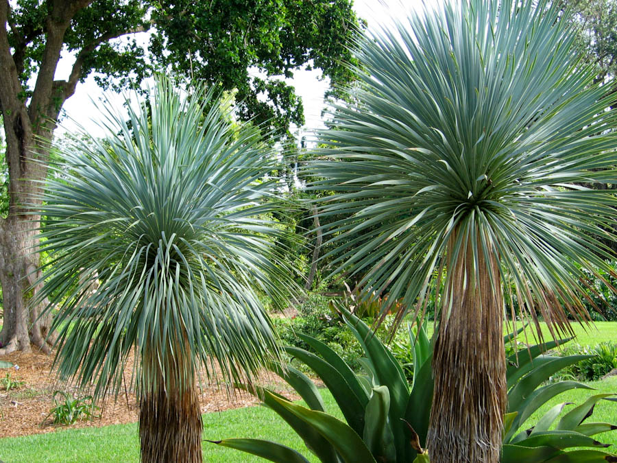Yucca for Plante yucca