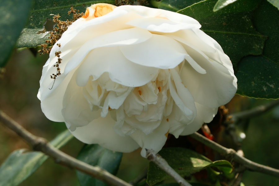 White camellia flower mightylinksfo