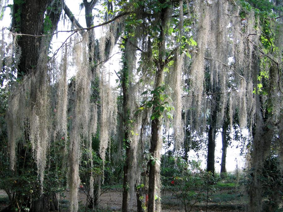 Hanging Tree Moss